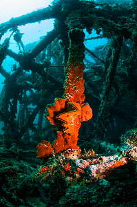 Cock's comb oyster (Lopha cristagalli) covered with encrusting sponge on artificial reef. Mabul, Malaysia. - Georgette Douwma