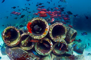 Mixture of Soldierfish (Myripristis) over cement pipes in artifical reef,  Mabul, Malaysia.  -  Georgette Douwma