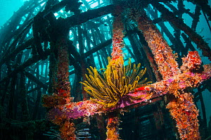 Crinoid (Crinoidea) on artificial reef. Mabul, Malaysia. - Georgette Douwma