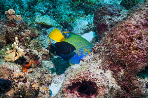 Queen angelfish (Holocanthus ciliaris) feeding on sponge, whilst a Dusky damselfish (Stegastes adustus), a very territorial fish, tries to chase it away.  Bonaire, Netherlands Antilles, Caribbean, Atl...  -  Georgette Douwma