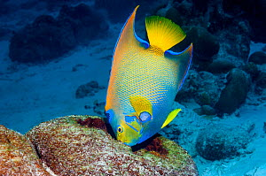 Queen angelfish (Holocanthus ciliaris) feeding on sponge.  Bonaire, Netherlands Antilles, Caribbean, Atlantic Ocean.  -  Georgette Douwma