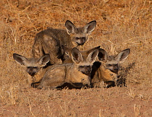 Five Bat-eared foxes (Otocyon megalotis) huddling together in the early morning for warmth. Auob River Bed, Kgalagadi, South Africa.  -  Charlie  Summers