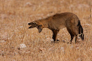 Bat-eared Fox (Otocyon megalotis) in hunting pose as it listens for underground burrowing insects. Kgalagadi, South Africa. - Charlie  Summers