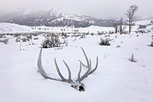 Elk skull and antlers (Cervus elaphus) in snow, Lamar Valley, Yellowstone National Park, Wyoming , USA. February 2015.  -  Kirkendall-Spring