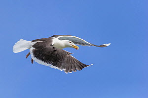 Lesser black-backed gull (Larus fuscus) in flight. Troms, Norway. July. - Andy  Trowbridge