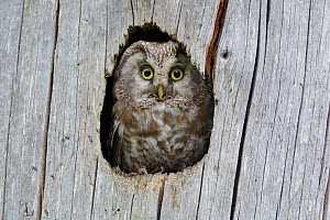 Tengmalm's / Boreal owl (Aegolius funereus) looking out of nesting hole in tree stump. Southern Norway. June. - Andy  Trowbridge
