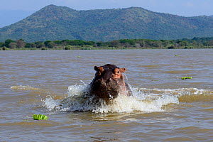 Hippopotamus (Hippopotamus amphibius) charging against boat on Lake Chamo. Nechisar National Park. Ethiopia, November 2014 - Enrique Lopez-Tapia