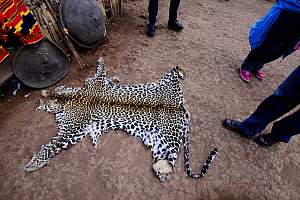 Leopard skin (Panthera pardus) for use in ceremonies and celebrations. Dorze village. Ethiopia, November 2014  -  Enrique Lopez-Tapia