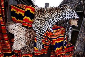 Cheetah (Acinonyx jubatus) and Leopard skins (Panthera pardus) for use in ceremonies and celebrations. Dorze village. Ethiopia, November 2014  -  Enrique Lopez-Tapia