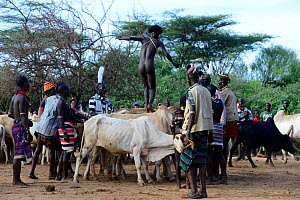 Naked Hamer boy leaping across line of bulls, as part of the Jumping of the Bulls ceremony which marks the transition into manhood. Ethiopia, November 2014  -  Enrique Lopez-Tapia