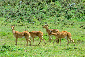 Bohor reedbucks (Redunca redunca) herd, Bale Mountains National Park, Ethiopia. Ethiopia, November 2014  -  Enrique Lopez-Tapia