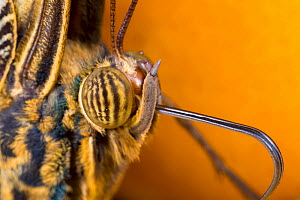 Close-up of Owl Butterfly (Caligo memnon) head showing compound eyes and proboscis. Captive, originating from Central America.  -  Alex  Hyde