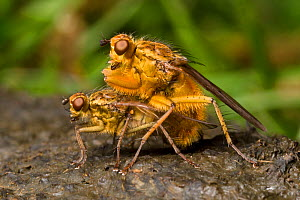 Yellow dungflies (Scathophaga stercoraria) mating on sheep dung. Worcestershire, UK. April.  -  Alex  Hyde