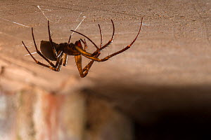 European cave spider (Meta menardi) on ceiling of cellar. Worcestershire, UK. April.  -  Alex  Hyde