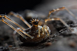 Harvestman (Megabunus diadema) with prominent, spiky eyes,  Peak District National Park, Derbyshire, UK. April - Alex  Hyde