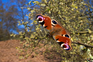 Peacock butterfly (Inachis io) feeding on Goat Willow catkins (Salix caprea), an important food source for pollinators in early spring. Peak District National Park, UK. April.  -  Alex  Hyde