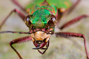 Green tiger beetle (Cicindela campestris) close up portrait, Peak District National Park, Derbyshire, UK. May. - Alex  Hyde