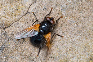 Noon fly / Noonday fly (Mesembrina meridiana) basking on a rock. Peak District National Park, Derbyshire, UK. May.  -  Alex  Hyde
