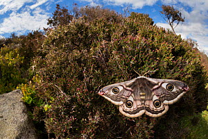 Emperor moth (Saturnia pavonia) female wide angle view showing heather moorland habitat. Peak District National Park, UK. April.  -  Alex  Hyde