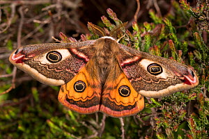 Emperor moth (Saturnia pavonia) male resting on heather, Peak District National Park, UK. April.  -  Alex  Hyde