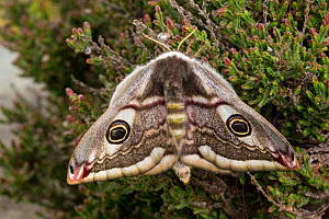 Emperor moth (Saturnia pavonia) female resting on heather, Peak District National Park, UK. April.  -  Alex  Hyde