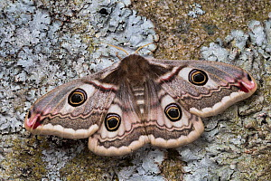 Emperor moth(Saturnia pavonia) female, Peak District National Park, UK. May.  -  Alex  Hyde