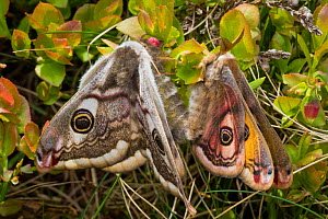 Emperor Moths (Saturnia pavonia) mating, Peak District National Park, UK. May.  -  Alex  Hyde