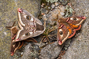 Mating Emperor Moths (Saturnia pavonia) with second male attracted in mating frenzy. Peak District National Park, UK. May.  -  Alex  Hyde