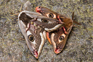 Mating Emperor Moths (Saturnia pavonia) Peak District National Park, UK. May.  -  Alex  Hyde