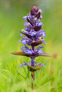 Bugle (Ajuga reptans) in flower in a damp meadow. Peak District National Park, Derbyshire, UK. May.  -  Alex  Hyde