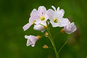 Cuckooflower / Lady's smock (Cardamine pratensis) flower, Peak District National Park, Derbyshire, UK. May.  -  Alex  Hyde
