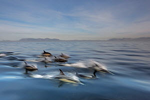 Long-beaked common dolphin (Delphinus capensis) school porpoising, False Bay, South Africa  -  Chris & Monique Fallows