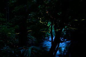 Light trails of Japanese fireflies (Hotaria parvula and Luciola cruciata), Nichinan-chou, Tottori, Japan, July, Endemic species. - Yukihiro  Fukuda