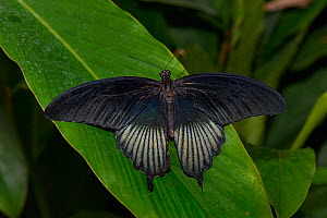 Great yellow mormon (Papilio lowi) male, captive, occurs in Asia.  -  Loic  Poidevin