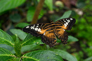 Clipper butterfly (Parthenos sylvia) captive occurs in Asia. - Loic  Poidevin