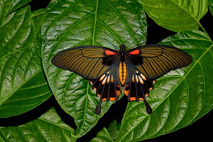 Great mormon butterfly (Papilio memnon) captive, occurs in Asia.  -  Loic  Poidevin