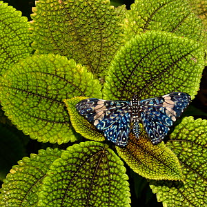 Red cracker butterfly (Hamadryas amphinome) captive occurs in the Americas.  -  Loic  Poidevin