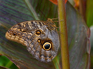 Giant owl butterfly (Caligo) resting on leaf, captive, occurs in South America.  -  Loic  Poidevin