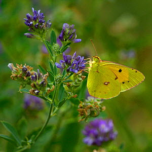 Dark clouded yellow butterfly (Colias croceus) on flower, Vendee, France, July. - Loic  Poidevin