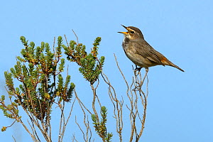 Bluethroat (Luscinia svecica) singing on a branch. Vendee, France, April  -  Loic  Poidevin