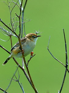 Zitting cisticola (Cisticola juncidis) on branch, Breton Marsh, Vendee, France, May.  -  Loic  Poidevin