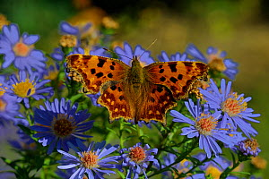 Comma butterfly (Aglais io) on aster flower, Vendee, France, Augst.  -  Loic  Poidevin