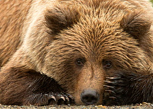 Coastal brown bear (Ursus arctos) resting, Lake Clarke National Park, Alaska, September. - Danny Green