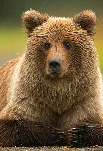 Coastal brown bear (Ursus arctos), Lake Clarke National Park, Alaska, September. - Danny Green