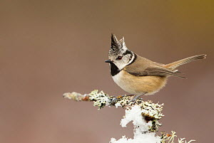 Crested tit (Lophophanes cristatus) perched on snowy conifer branch, Scotland, March  -  Danny Green