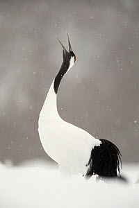 Japanese crane (Grus japonensis) displaying, Hokkaido, Japan, February  -  Danny Green