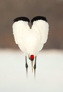 Japanese crane (Grus japonensis) displaying, wings in heart shape, Hokkaido, Japan, February  -  Danny Green