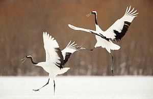 Japanese cranes (Grus japonensis) displaying in snow, Hokkaido, Japan, February  -  Danny Green