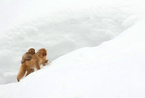 Japanese Macaque (Macaca fuscata) carrying young on back through snow, Nagano, Japan, February  -  Danny Green
