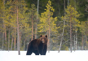 European brown bear (Ursus arctos) male standing in snow, Finland, April - Danny Green